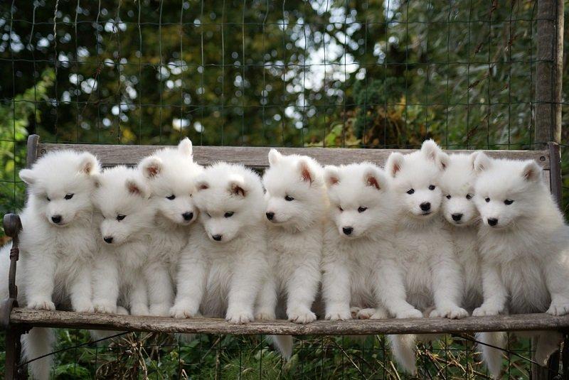 Фестиваль собак породы самоедов
