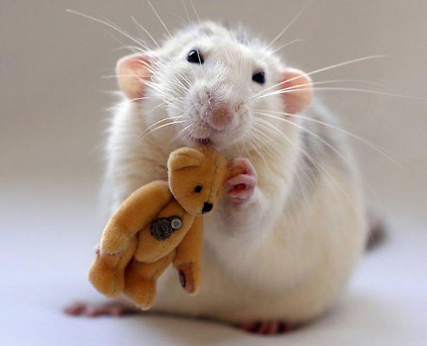 Фестиваль «Декоративные крысы»