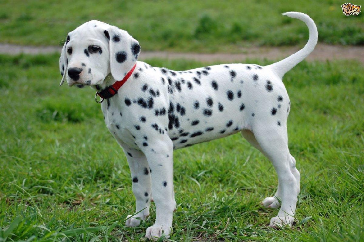 Фестиваль собак породы «Далматины»