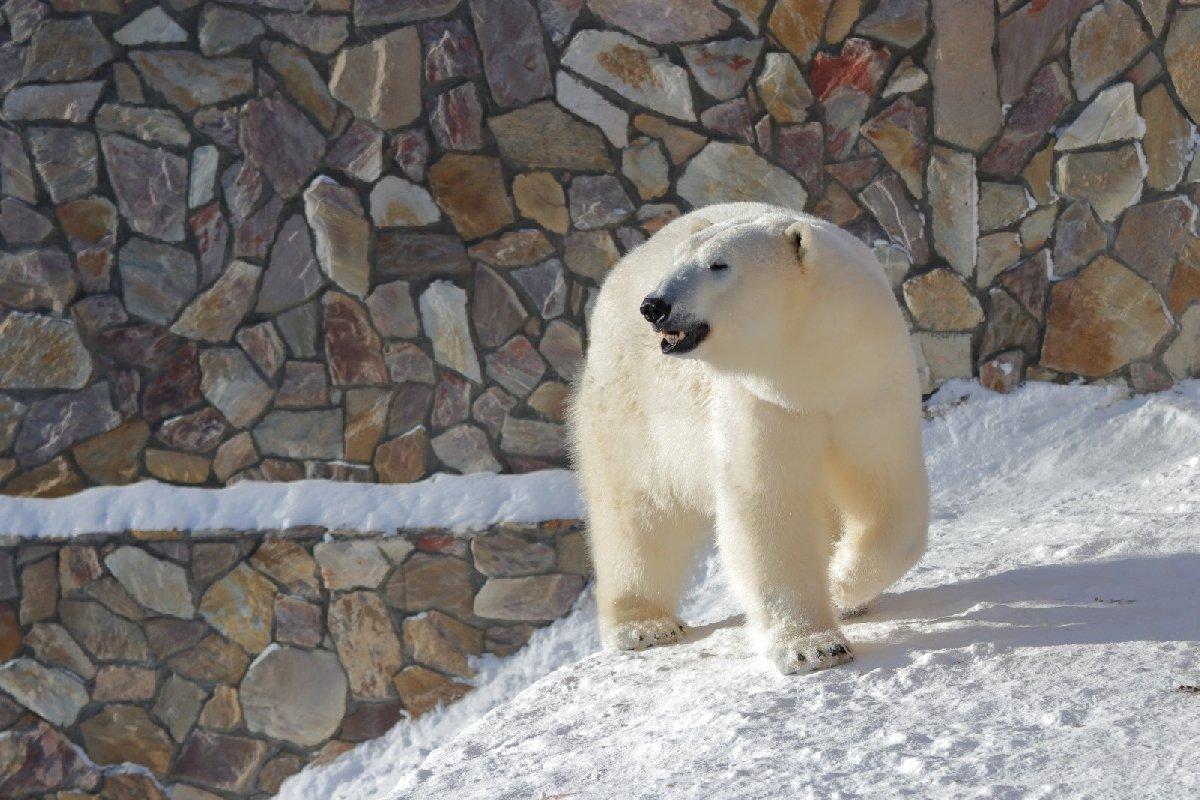 День белого медведя вЛенинградском зоопарке 2021
