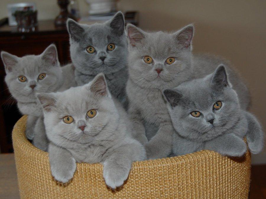 Фестиваль «Британские коты»