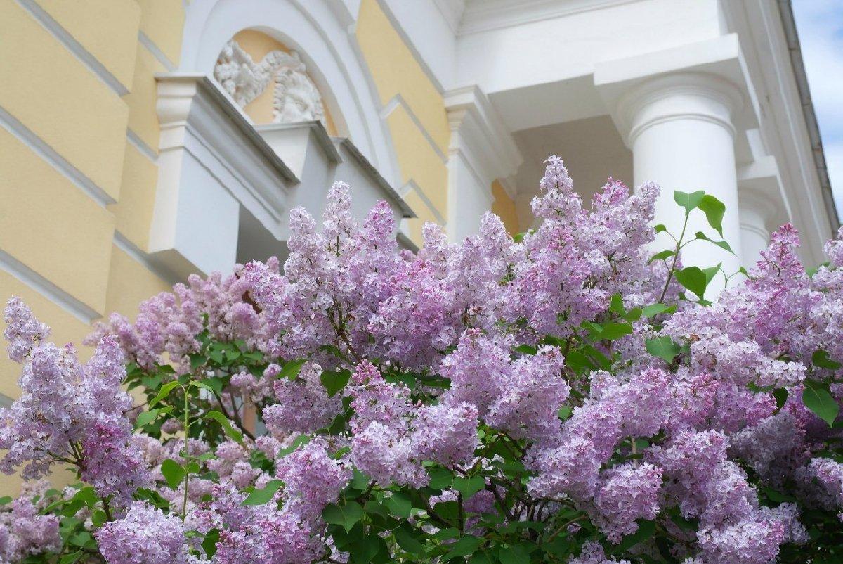 Праздник «Сиреневый променад» вПавловском парке онлайн