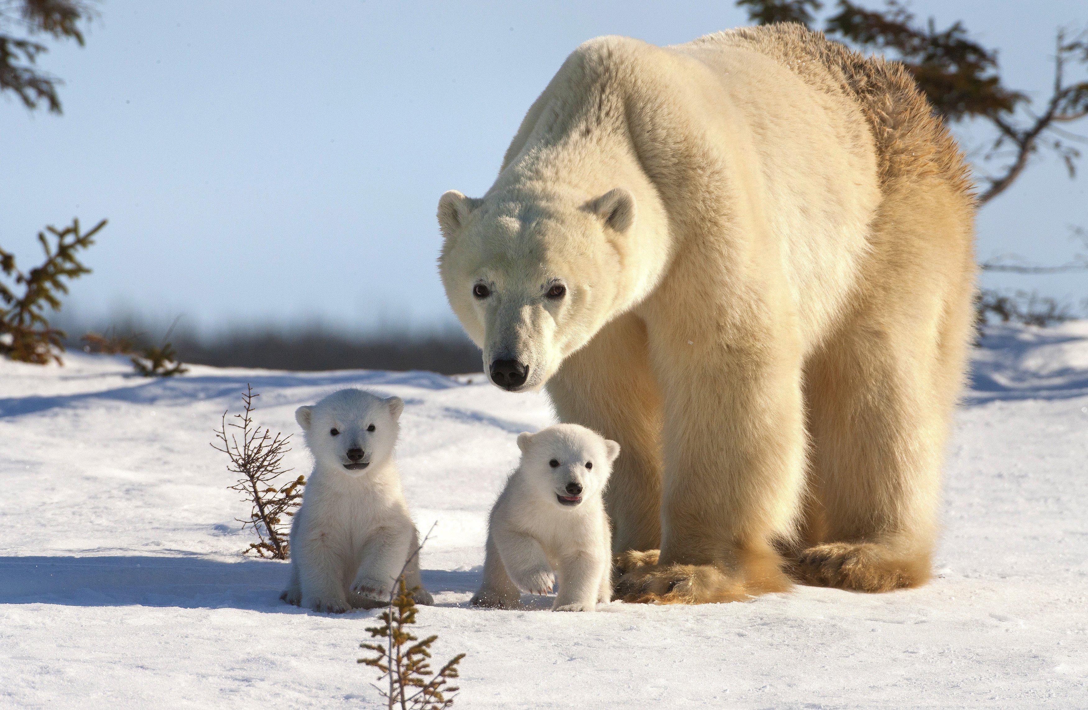 Белый медведь 2 20 фотография